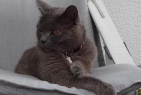 Disappearance alert Cat  Male , 8 years Saint-Vaast-la-Hougue France