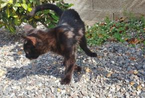 Discovery alert Cat miscegenation Female Bagard France