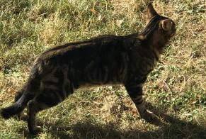 Discovery alert Cat miscegenation Male , Between 4 and 6 months Épinay-sous-Sénart France