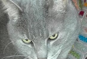 Disappearance alert Cat miscegenation Male , 9 years Hudimesnil France