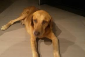 Disappearance alert Dog miscegenation Male , 14 years Le Cannet France