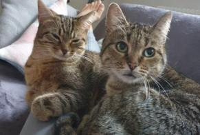 Disappearance alert Cat Female , 8 years Bellerive-sur-Allier France