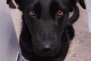 Disappearance alert Dog miscegenation Female , 2 years Saint-Nicolas-de-Pierrepont France