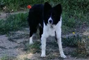 Disappearance alert Dog  Male , 3 years Sollacaro France