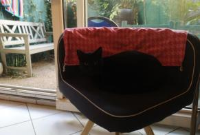 Disappearance alert Cat  Male , 3 years Montpellier France
