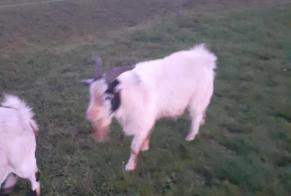 Discovery alert Goat Unknown Terre-et-Marais France