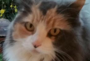 Disappearance alert Cat Female , 10 years Cherbourg-en-Cotentin France