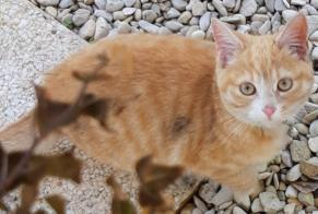 Discovery alert Cat miscegenation Male Mazingarbe France