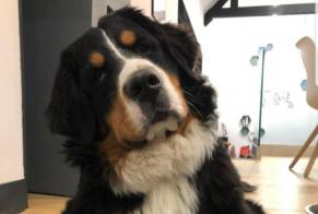 Disappearance alert Dog  Male , 1 years Essars France