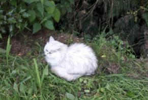 Disappearance alert Cat  Female , 13 years Colombes France