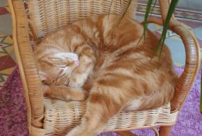 Disappearance alert Cat miscegenation Male , 2 years Alzonne France