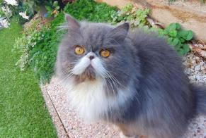 Disappearance alert Cat  Male , 2 years Le Cannet France