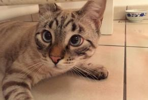 Disappearance alert Cat  Male , 2 years Toulouse France