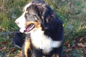 Disappearance alert Dog  Female , 1 years Inguiniel France