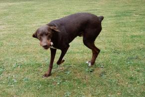 Disappearance alert Dog miscegenation Male , 6 years Pansey France