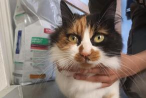 Discovery alert Cat miscegenation Female , 2 years Montcel France