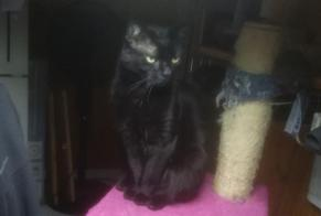 Disappearance alert Cat miscegenation Male , 6 years Pontorson France