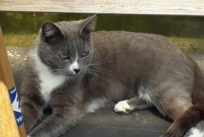 Disappearance alert Cat Female , 2 years Sartilly-Baie-Bocage France