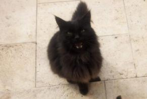 Disappearance alert Cat  Male , 12 years Beaumont-Louestault France