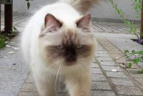 Disappearance alert Cat  Male , 3 years Wissous France