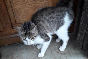 Discovery alert Cat miscegenation Female Saint-Julien-des-Points France