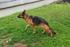 Discovery alert Dog  Female Saint-Germain France