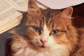 Disappearance alert Cat miscegenation Female , 6 years Montigny-sur-Avre France