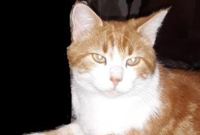 Disappearance alert Cat miscegenation Male , 3 years Oradour-sur-Glane France