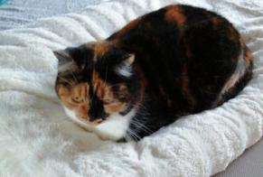 Disappearance alert Cat Female , 6 years La Bresse France