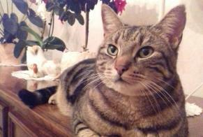 Disappearance alert Cat  Male , 9 years Roissy-en-Brie France
