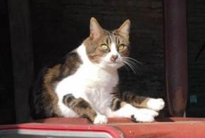 Disappearance alert Cat  Male , 8 years Ligny-le-Châtel France