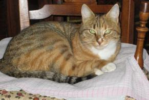 Disappearance alert Cat Female , 6 years Maule France