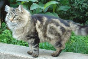 Disappearance alert Cat Female , 10 years Ajaccio France