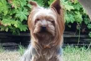 Disappearance alert Dog  Male , 6 years Bogny-sur-Meuse France