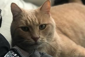 Disappearance alert Cat  Male , 14 years Mouans-Sartoux France