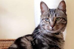 Disappearance alert Cat miscegenation Male , 4 years Puilboreau France