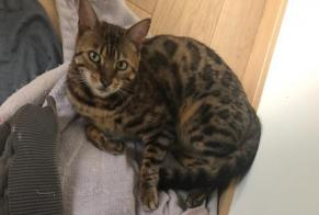 Disappearance alert Cat  Male , 8 years Lésigny France