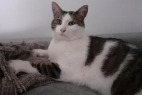 Disappearance alert Cat Male , 3 years Vitré France