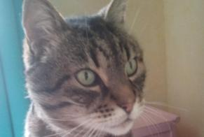 Disappearance alert Cat  Male , 11 years Saint-Avold France