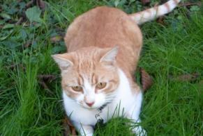 Disappearance alert Cat Male , 9 years Parthenay France