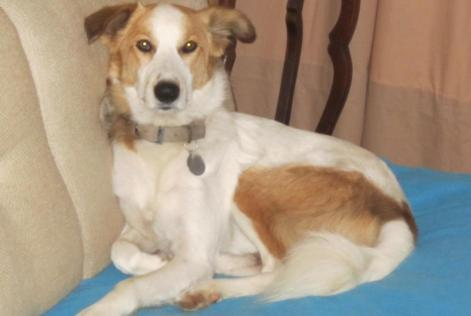 Disappearance alert Dog miscegenation Male , 7 years Plomodiern France