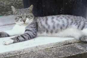 Disappearance alert Cat Male , 3 years Saint-Léonard-de-Noblat France