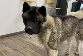 Discovery alert Dog  Male Vaulx-en-Velin France
