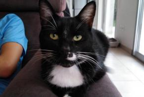 Disappearance alert Cat miscegenation Male , 2 years Petite-Forêt France