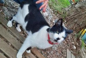 Discovery alert Cat miscegenation Male Saint-Florent-sur-Auzonnet France