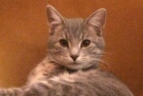Disappearance alert Cat miscegenation Male , 1 years Terres-de-Caux France