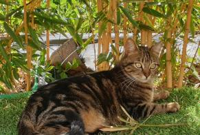 Disappearance alert Cat miscegenation Male , 2 years Tigery France