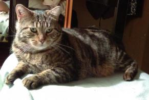 Disappearance alert Cat  Male , 10 years Grand-Couronne France