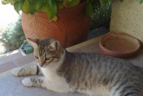 Disappearance alert Cat miscegenation Male , 14 years Saint-Laurent-des-Arbres France