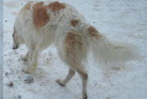 Disappearance alert Dog  Male , 4 years Guidel France